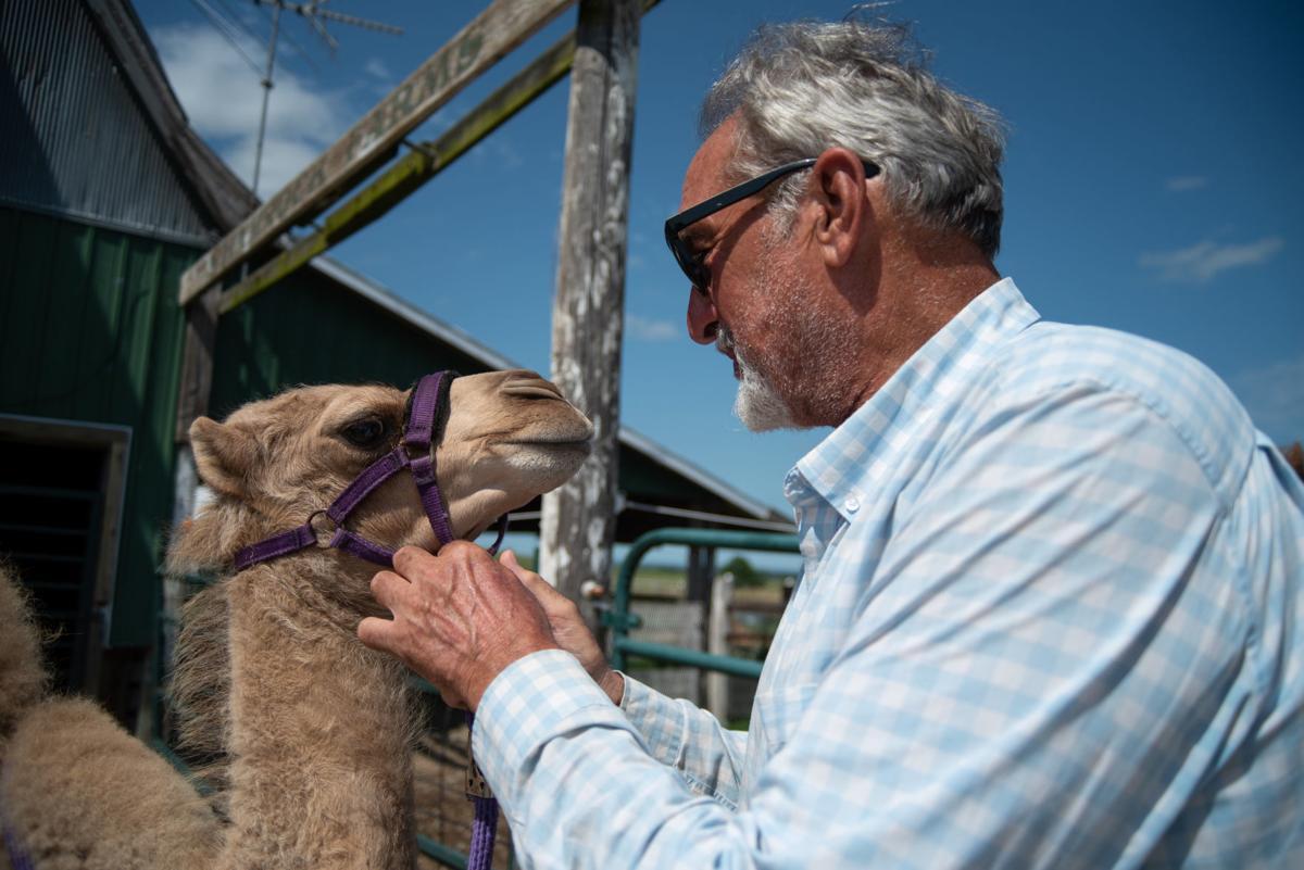 Roy Crenshaws adjusts Sadri's harness at Shamrock Farms on Thursday.