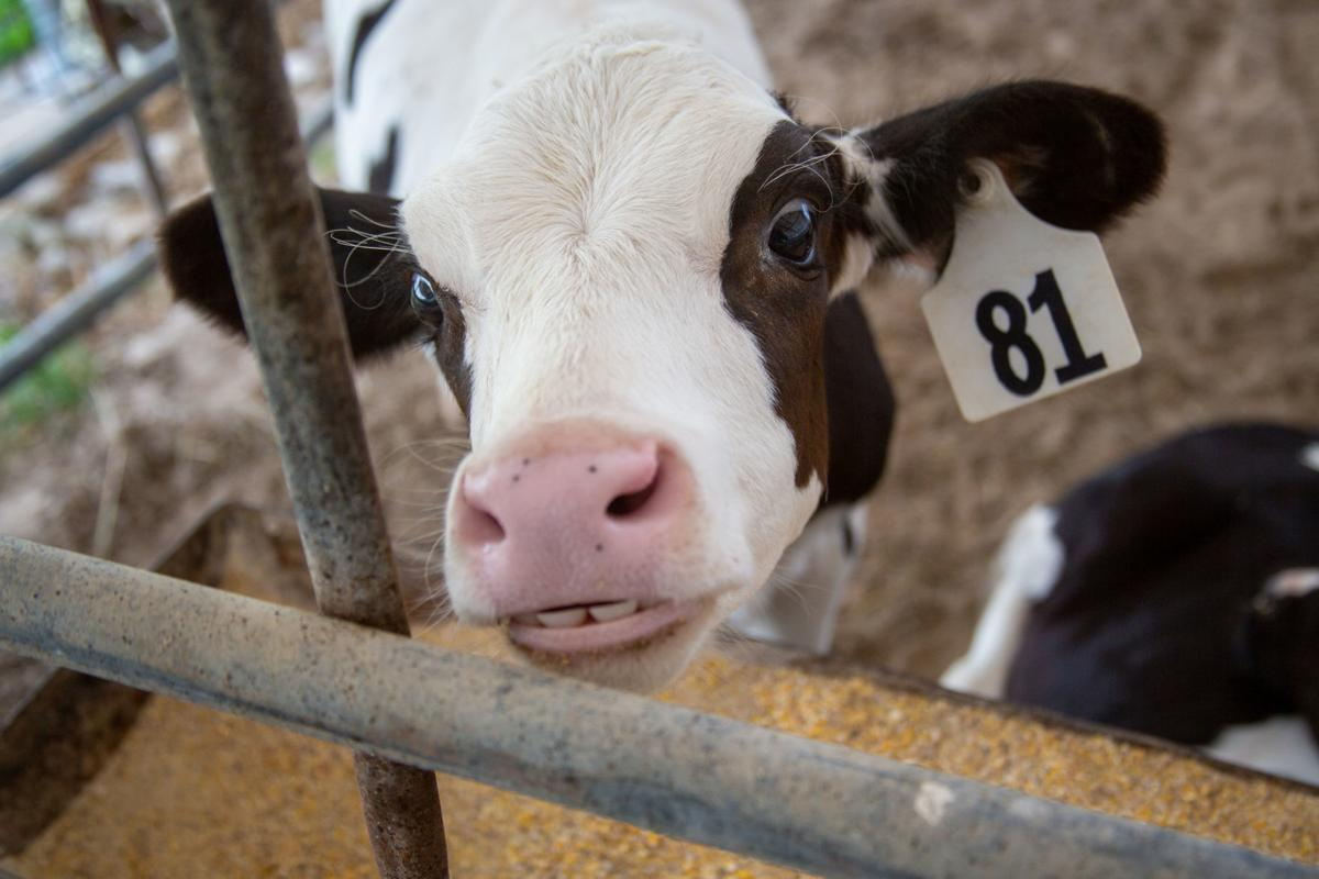 """Young Calf """"smiles"""" at Hildebrand Farms"""