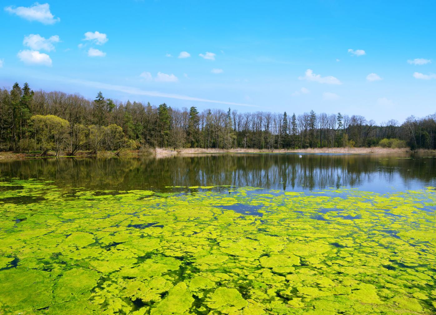Green algae on the water surface of a pond.
