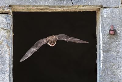 bat flying through window