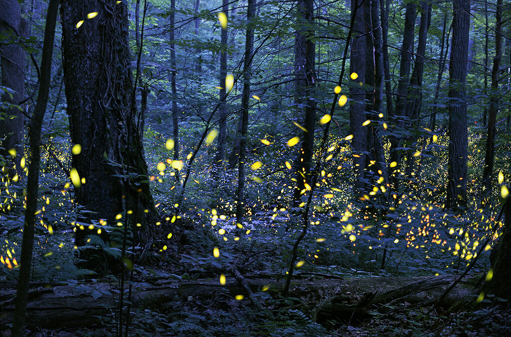 Synchronous_Fireflies_Elkmont_Photo Credit Radim Schreiber.jpeg