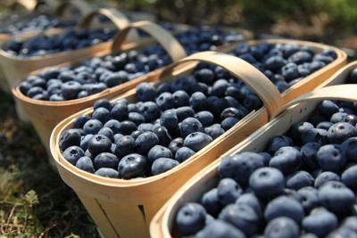 Fresh blueberries in harvest baskets