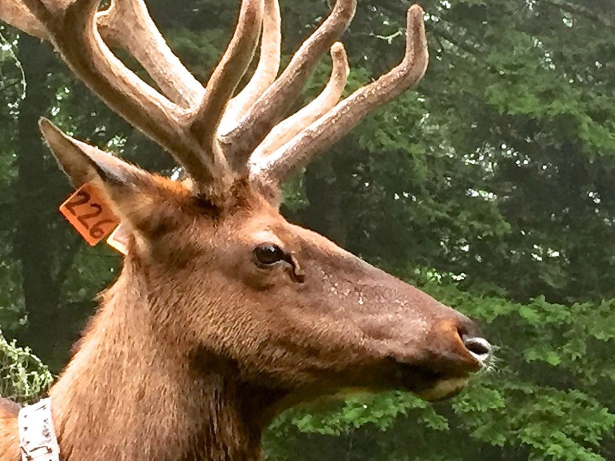 Elk226Close-2.jpg
