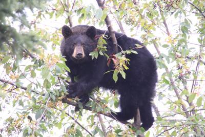 bear in tree