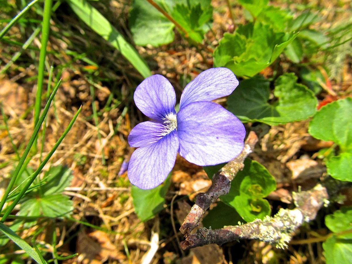 One of 80 species of violet