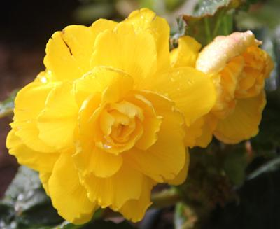 Begonia-Yellow.JPG