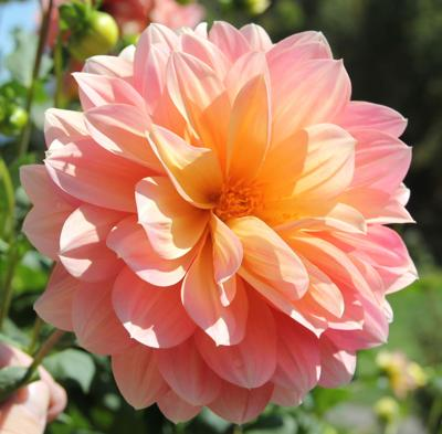 An Easier Way To Grow Dahlias Home And Garden Themountaineer Com