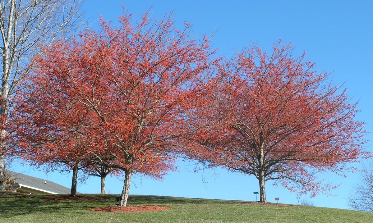 Crabapple trees