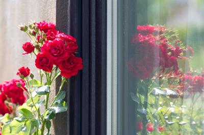 Roses in front of windows