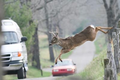 Whitetail deer jumping fence in frount of vehicles cars