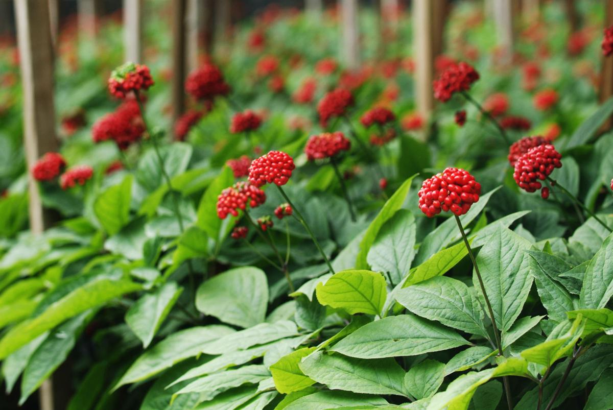 U S  Forest Service Announces Ginseng Permit Lottery for