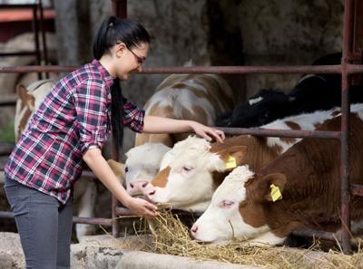 Farmer girl feeding heifers
