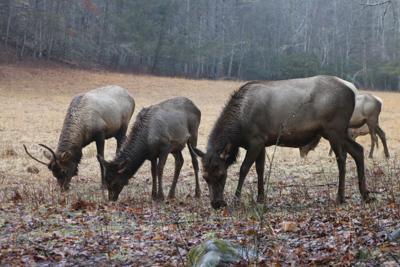 Elk Festival