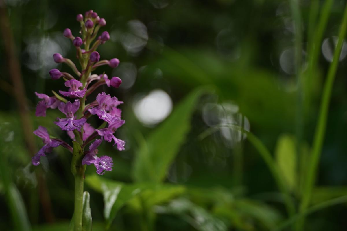 Lesser purple fringed orchid.JPG