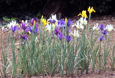 Dutch Iris patch