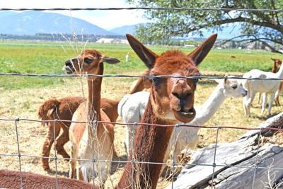 Grinning alpaca