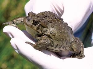Boreal toads keep chaffee county as last stronghold boreal toads keep chaffee county as last stronghold sciox Choice Image