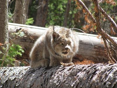Lynx perched on a log
