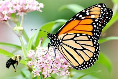 Monarch butterfly populations decline