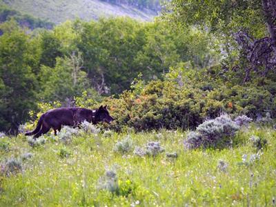 Wolf sighting