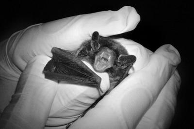 Monitoring bat populations