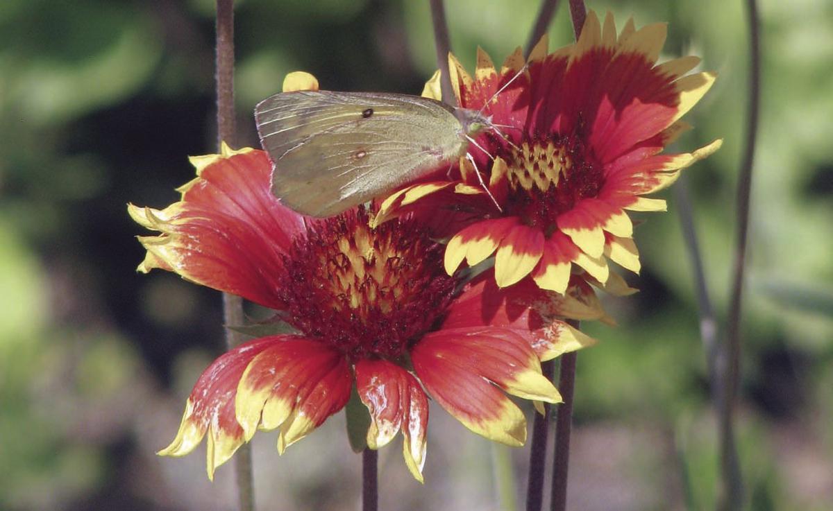 How to attract pollinators | Friday\'s Focus | thenewsenterprise.com