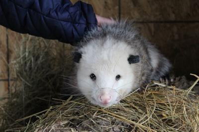 Playing opossum