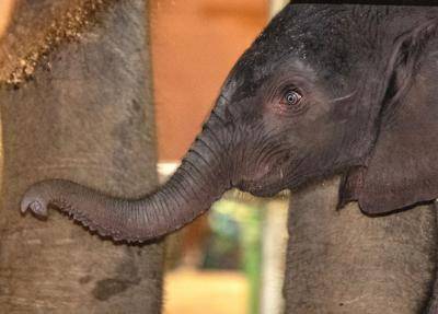 Elephant born at Louisville Zoo