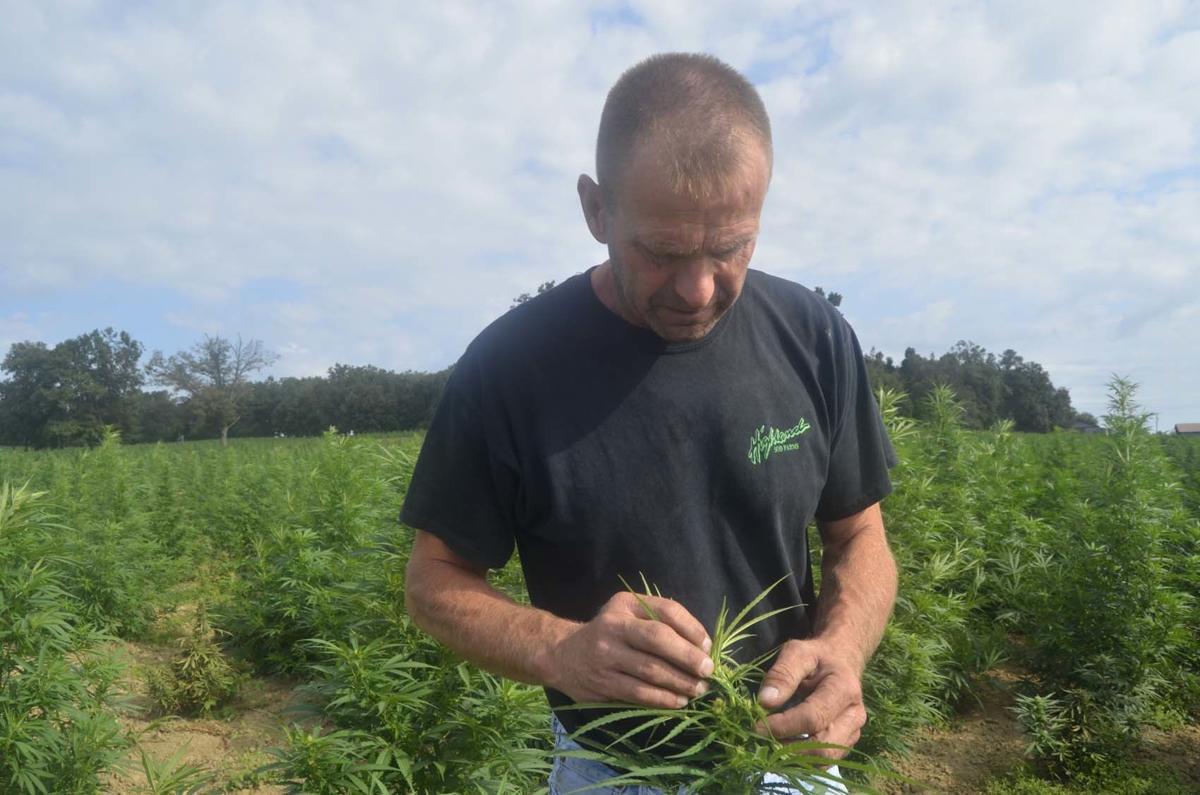 Thieves stealing hemp crops