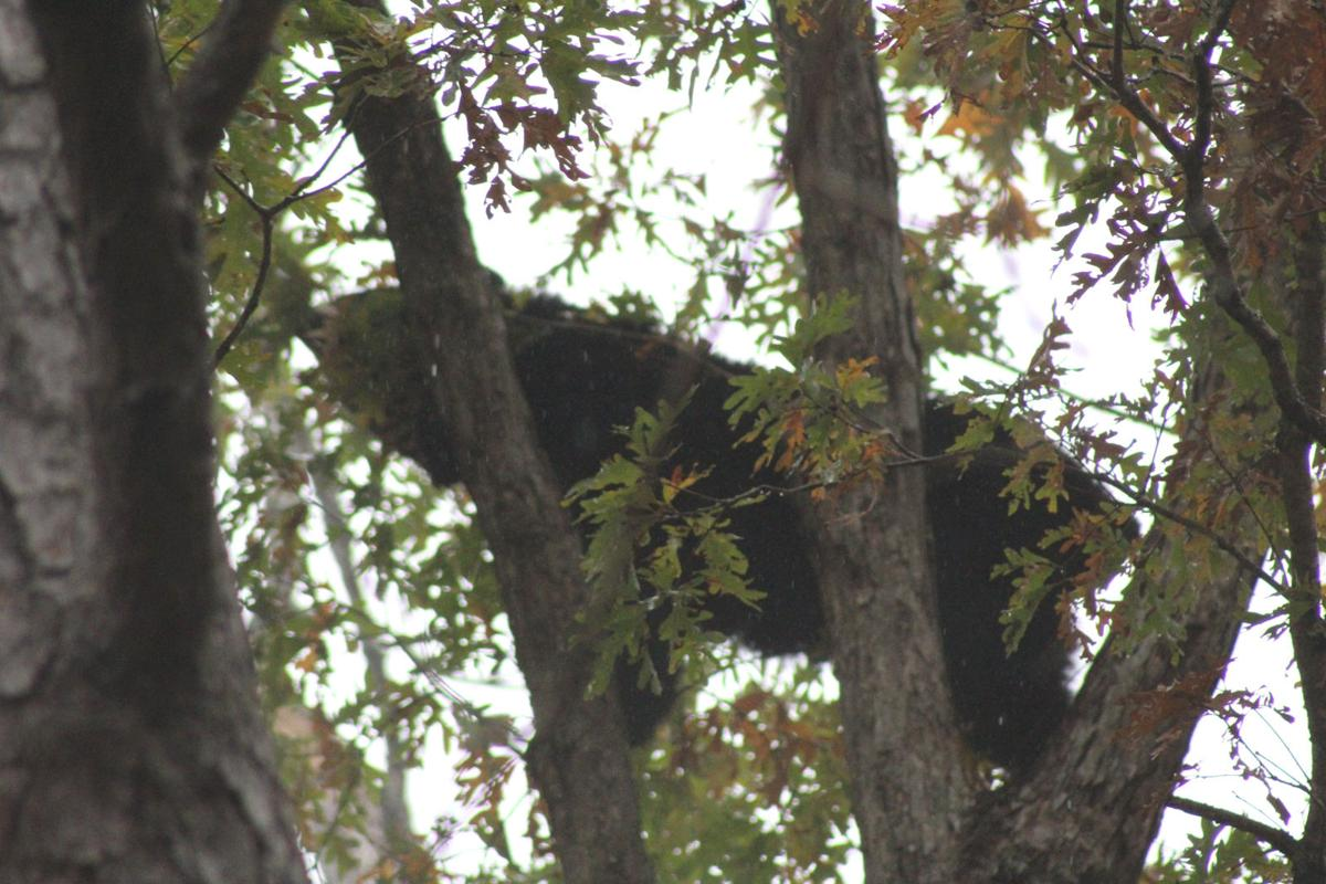 Bears plentiful on a trip to the mountains