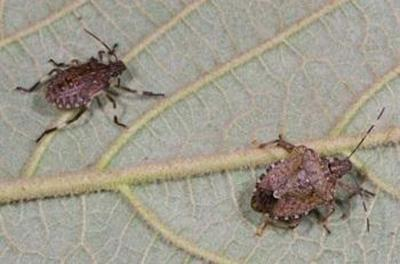 Stink bugs moving indoors so pest-proof your home