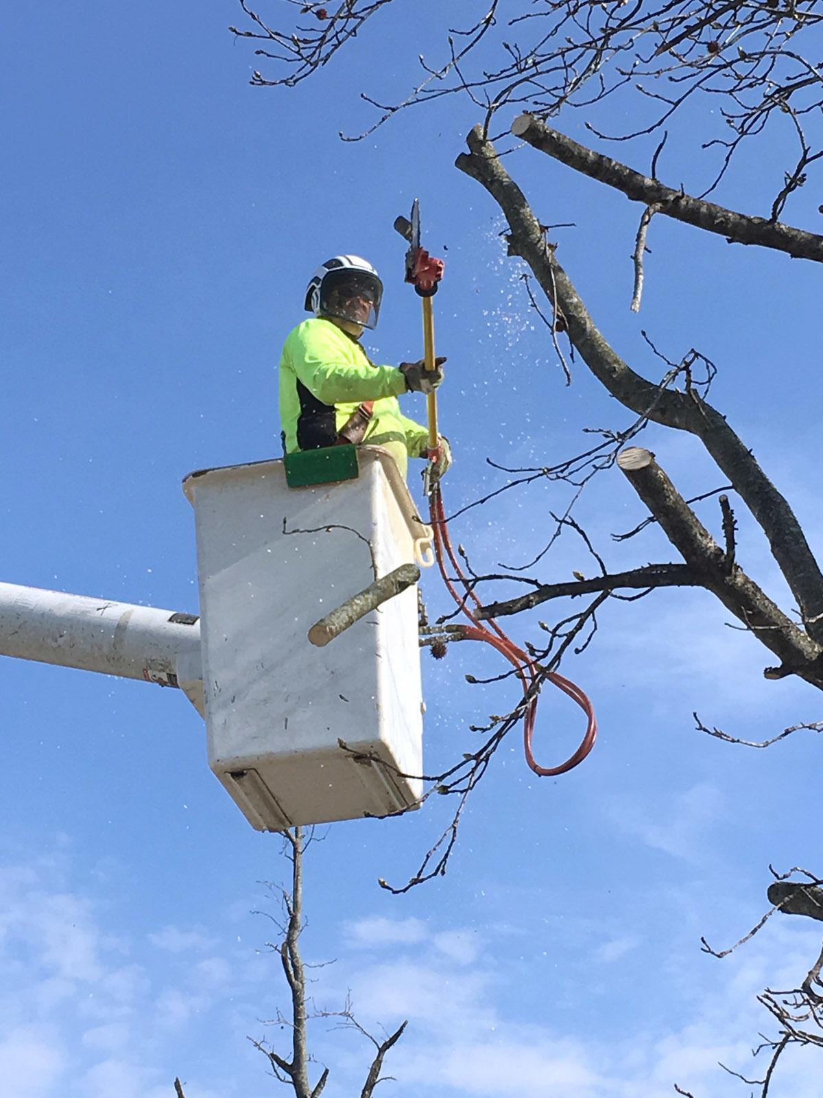 Jared Boddy of Boddy and Sons Tree Service of Vine Grove/Rineyville cuts  part of a limb Thursday morning in front of Vine Grove Elementary School.