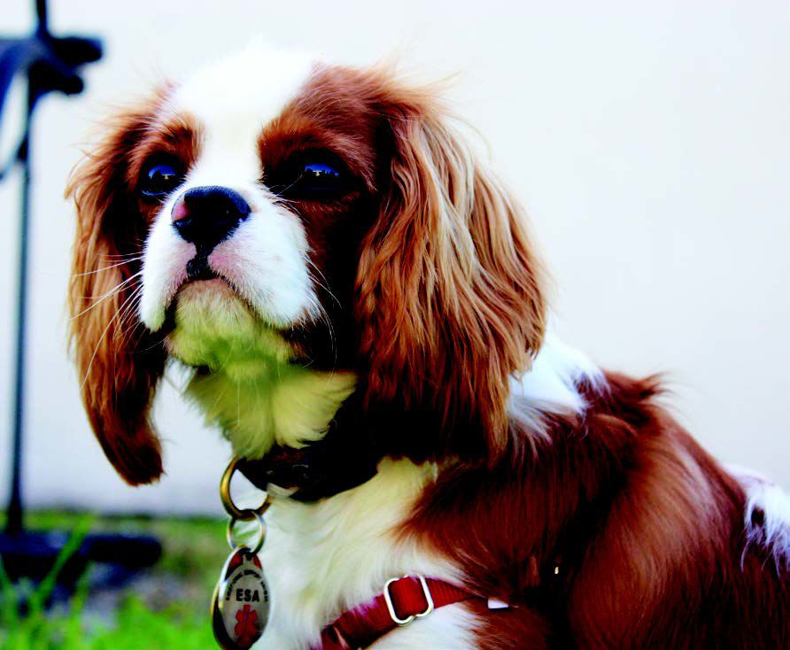 Image of: Dog Breeds Sevenmonthold Dash Sits On Some Grass Looking Lovingly At His Owner Firstyear Kat Welch Dash Is Known For His Playful Nature And Bursts Of Energy Pinterest Pet Of The Issue Dash The Cavalier Spaniel Science And Technology