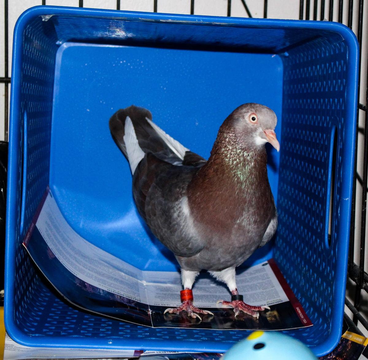 Pet of the Issue Pigeon 1