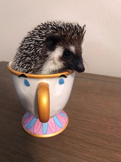 Pet of the Issue: Hedgehog