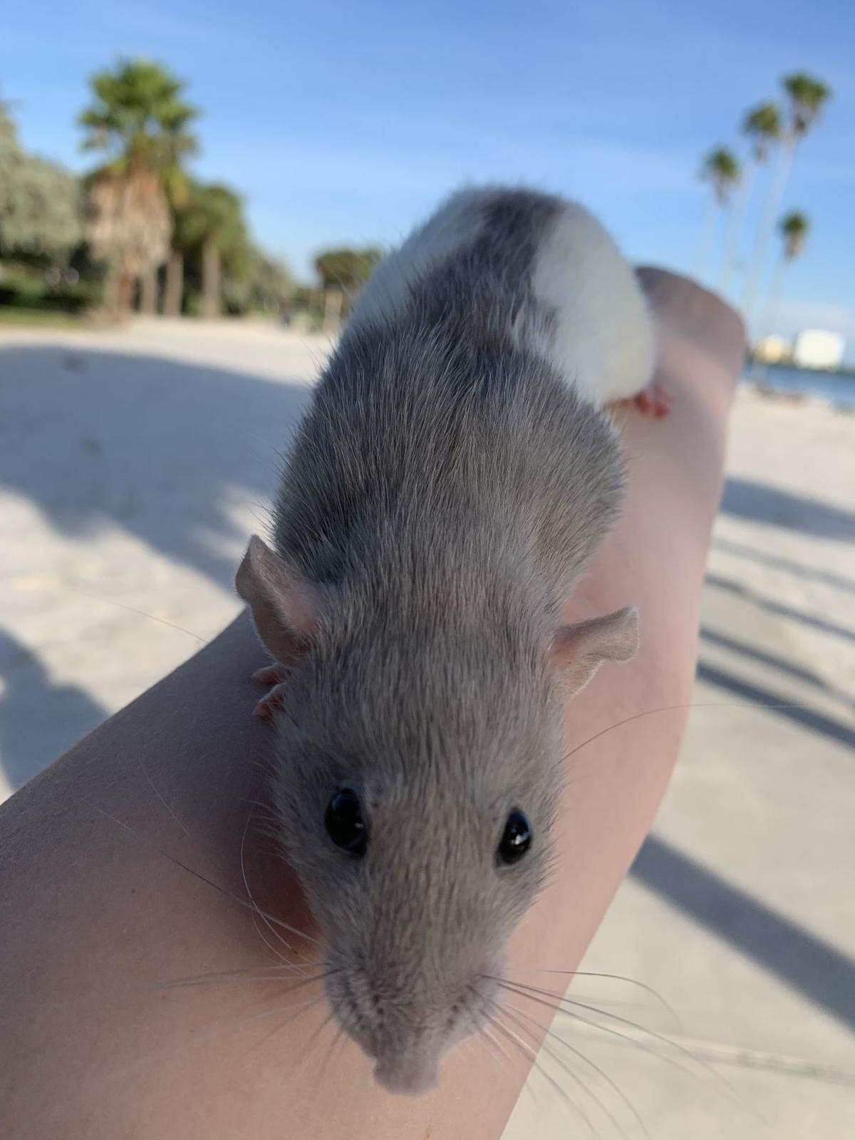 Pet of the Issue: Baby the rat