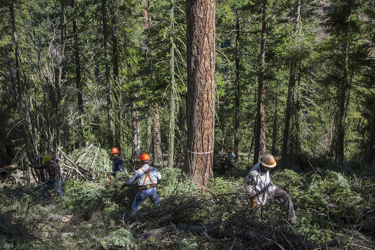 Forest thinning