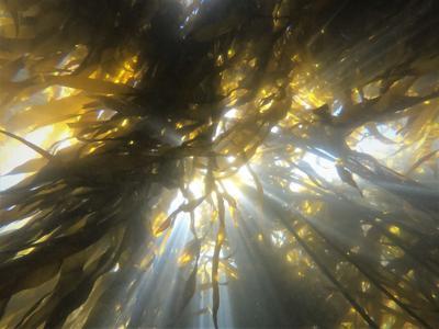 Bull kelp defenders along the Oregon Coast