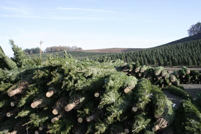 Christmas tree industry changes with times