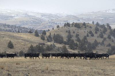 Some ranchers resistant to use of antibiotics
