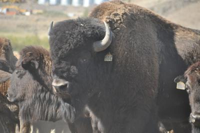 Stangel Bison Ranch finding continued success