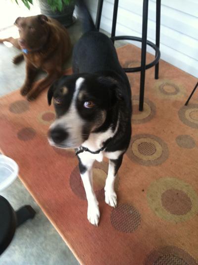 Lost Dog, Black/White Lab Mix in Pinehurst FOUND | Pets