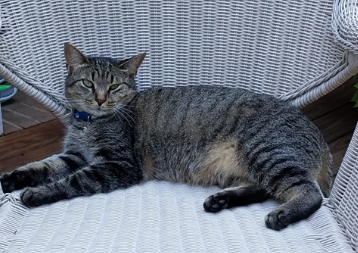 Lost Cat Gray Brown Tabby In Pinehurst Update Found Pets Thepilot Com