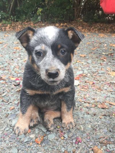 Lost Dog Blue Heeler Australian