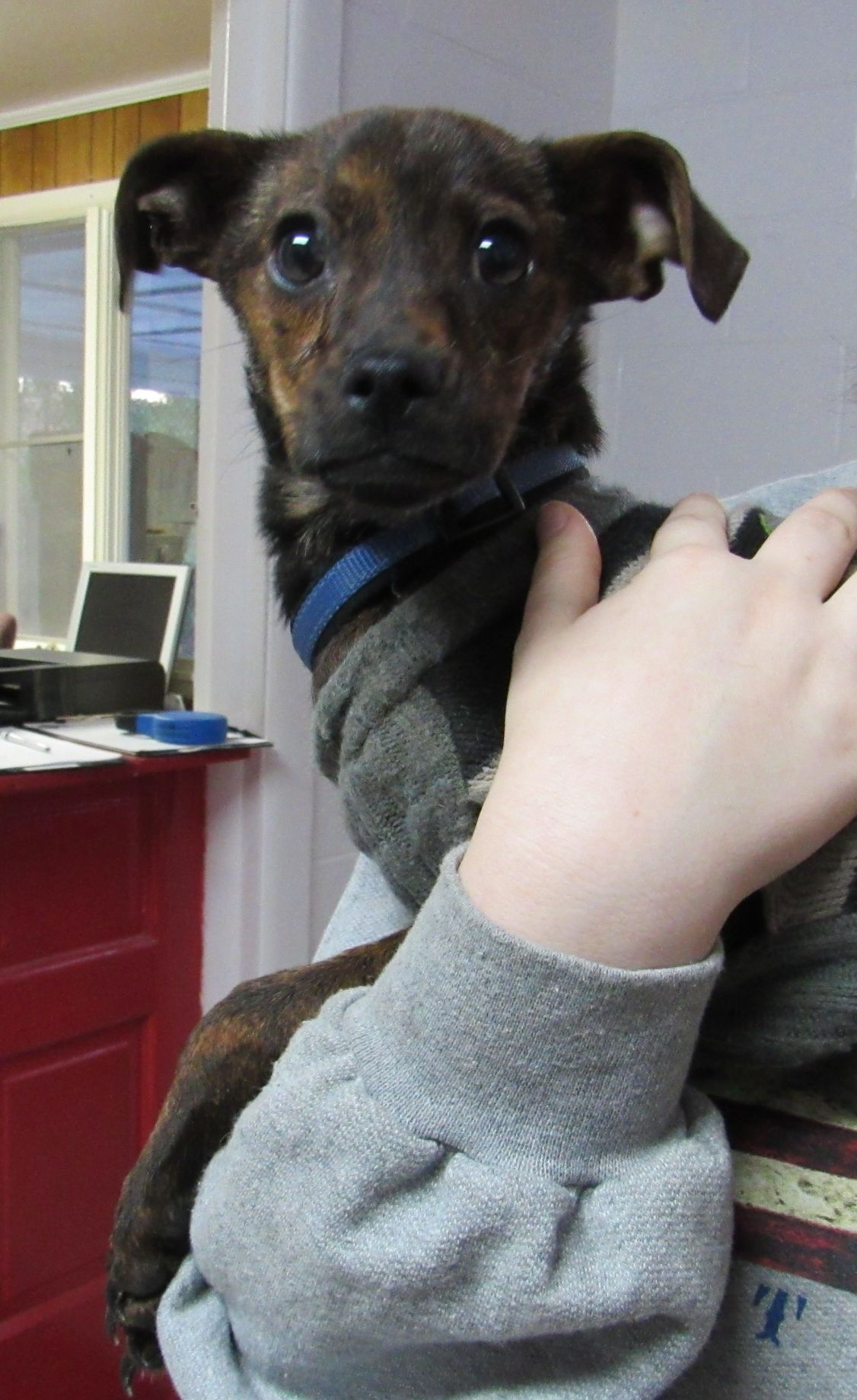Found Dog Small Brindle Mixed Breed In Carthage Pets