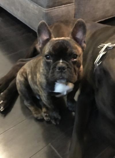 Lost Dog Dark Brown Brindle French Bulldog In Aberdeen