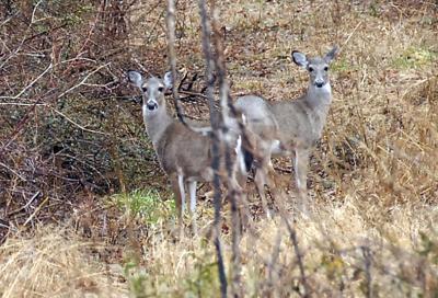 More Deer in Pinehurst