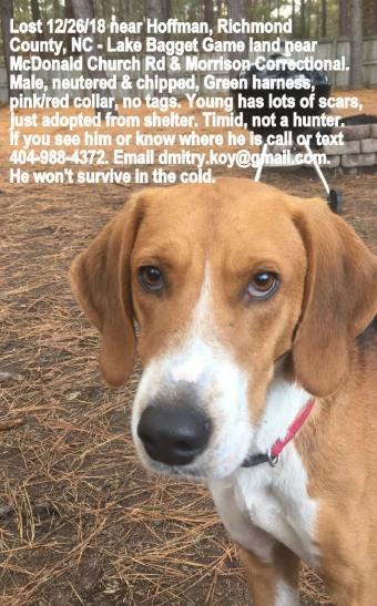 Lost Dog, Brown & White Foxhound in Five Points (Hoke Co ) UPDATE