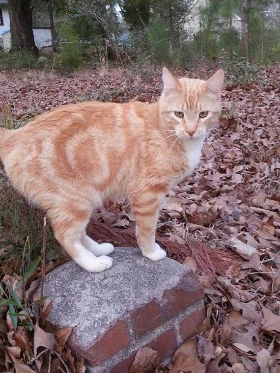 Lost Pet Orange And White Tabby Cat In Aberdeen The
