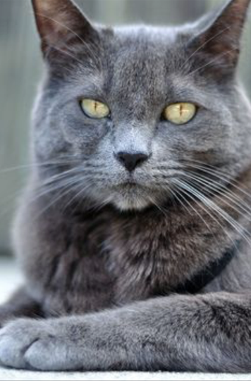 Smokey Cat Eye Makeup: Lost Cat, Solid Gray Cat On Vass Carthage Road Near Vass